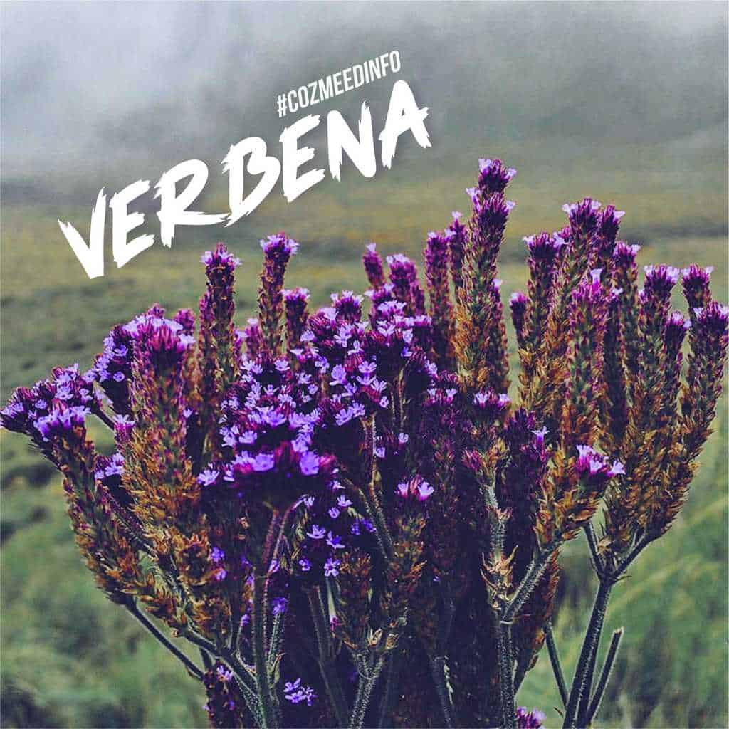 VERBENA BRASILIENSIS 7