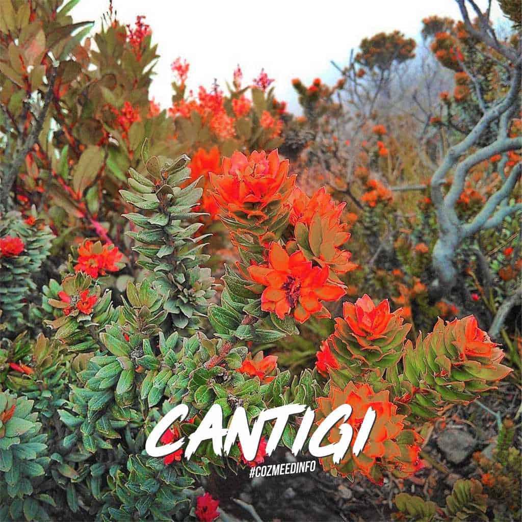"""Gambar TUMBUHAN GUNUNG """" CANTIGI """" 11"""